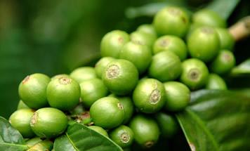 Extrato Vegetal Café Verde